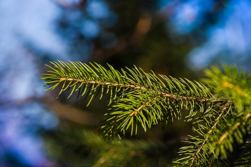 Drewno drzew iglastych